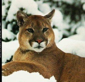 Cougare.....avez-vous dit ?????? dans Emotions - poesie- cougar6-300x290