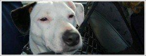 un Jack Russel enterré vivant !.....honteux...innommable ! dans animaux-sauvetage-barbarie animale-divers ethan-actu-300x116