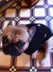 Manteau d'hiver pour bouledogue dans animaux-sauvetage-barbarie animale-divers photo113-224x300